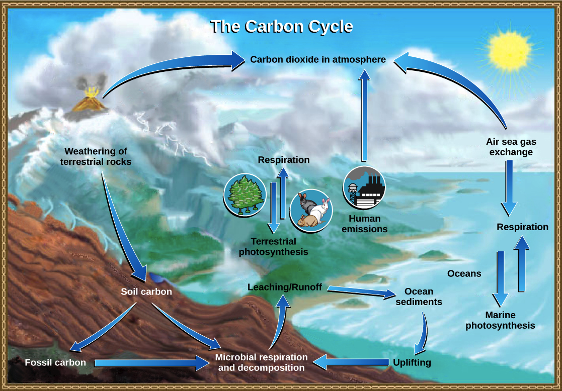 Explain The Carbon Cycle With The Help Of A Diagram