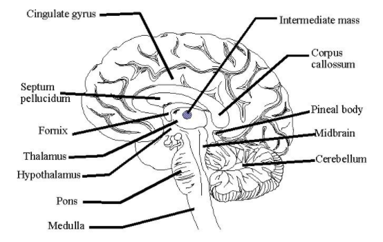 Draw a diagram of a vertical section of the human brain ...