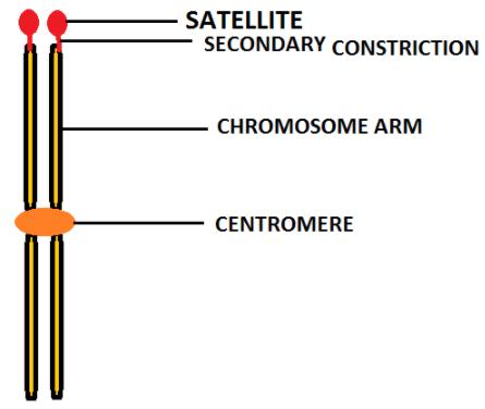 satellit ne demek tıp