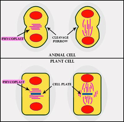 How does cytokinesis in plant cells differ from that class ...
