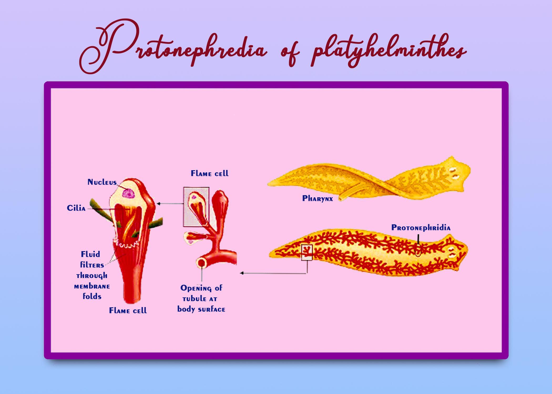 Protonephridia platyhelminthes - dieta-daneza.ro