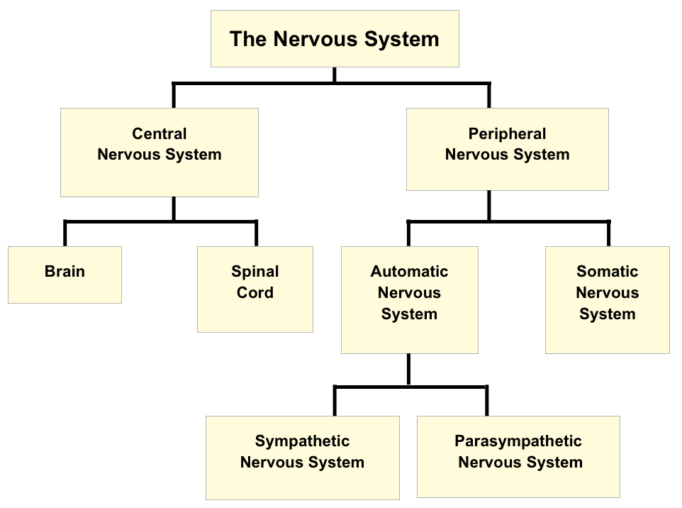 Central Nervous System How Are Class 10