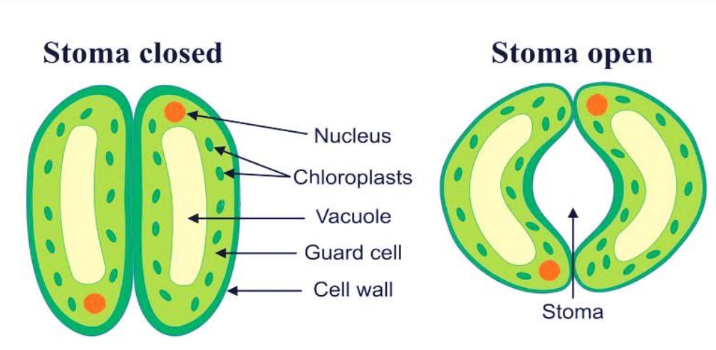 Draw a labelled diagram of stomata Write two functions ...