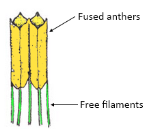 Syngenesious condition is found in the family a Liliaceae class 12 biology  CBSE