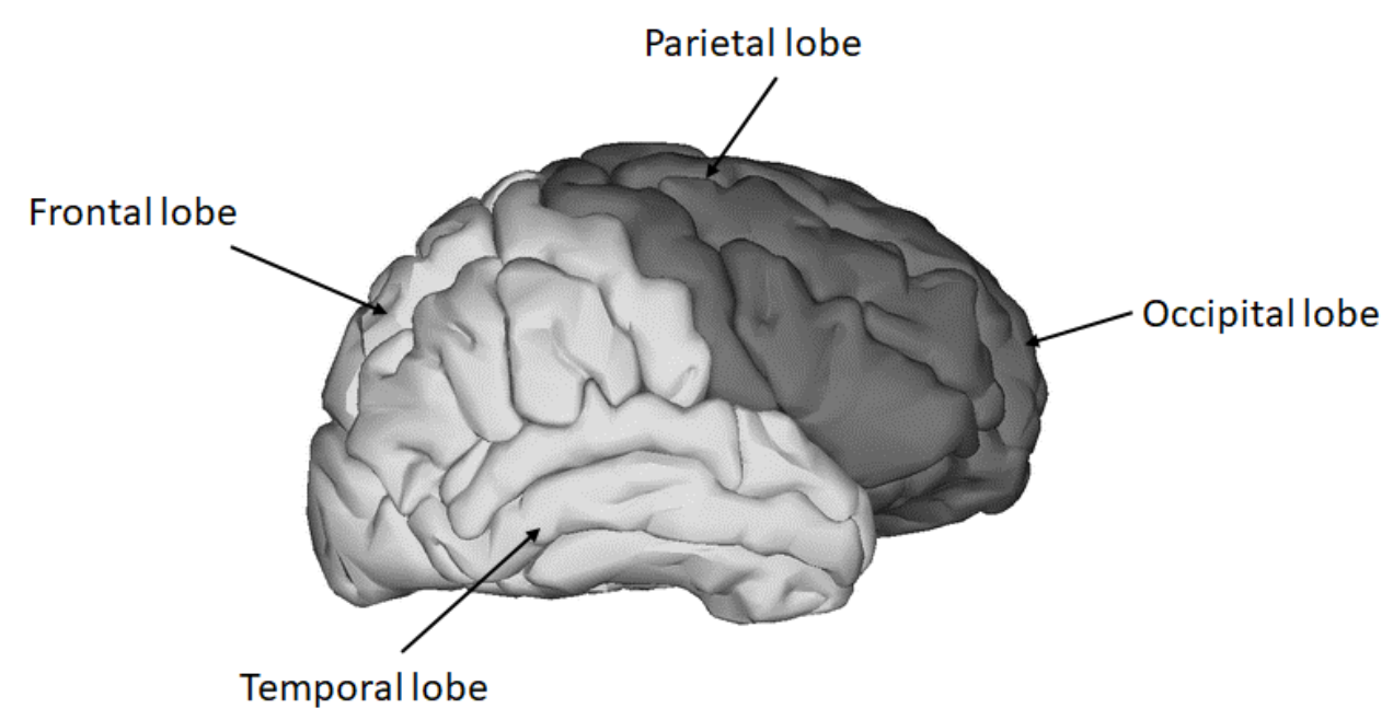 This diagram is of the human brain and the functions class ...