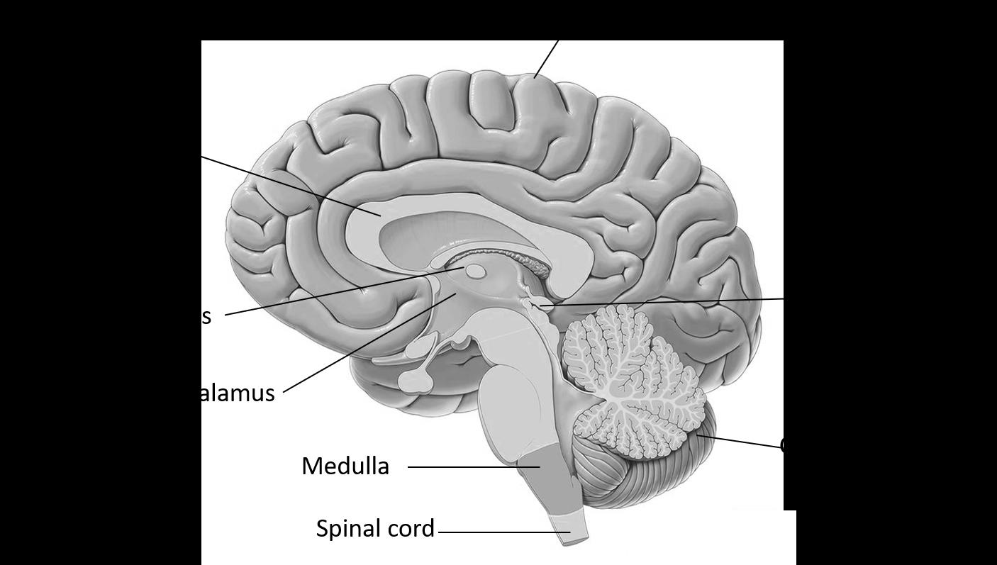 Draw the diagram of the human brain Explain its fu class ...