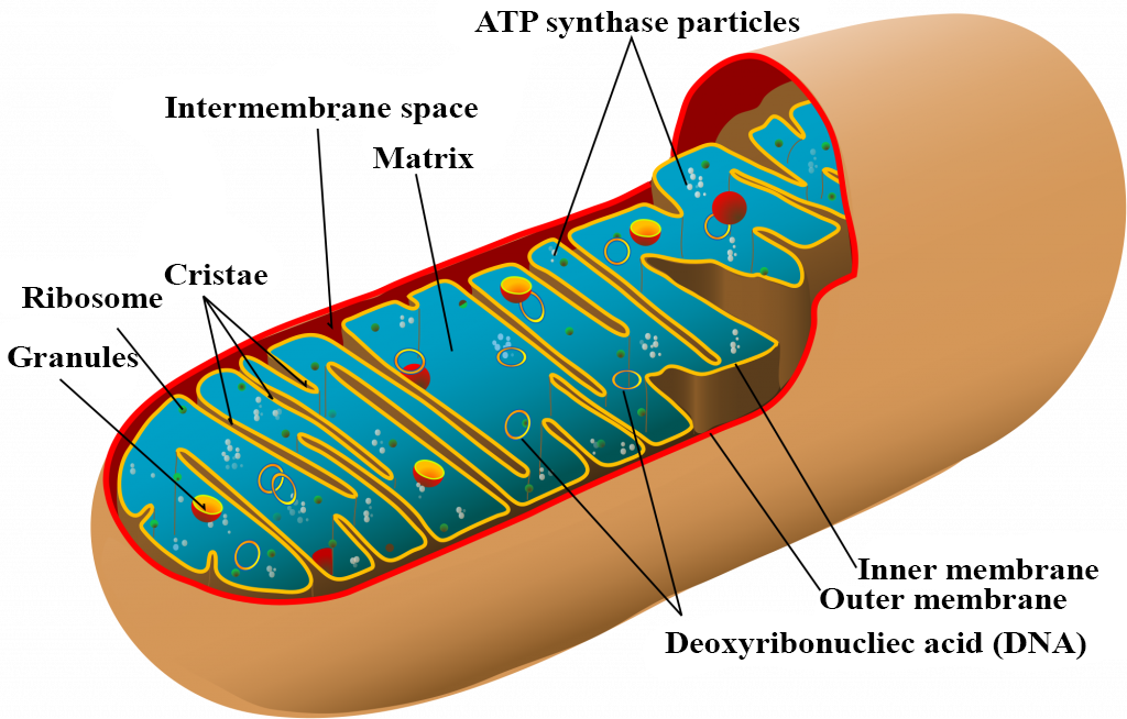 Give the name of two semiautonomous cell organelle class ...