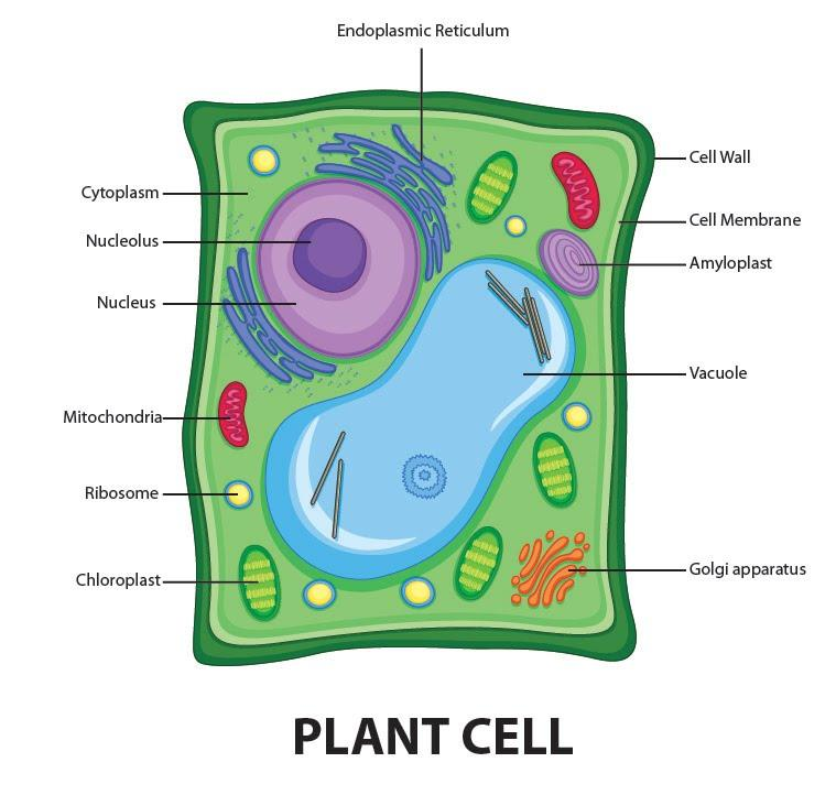 Draw a welllabelled diagram of a plant cell class 11 ...