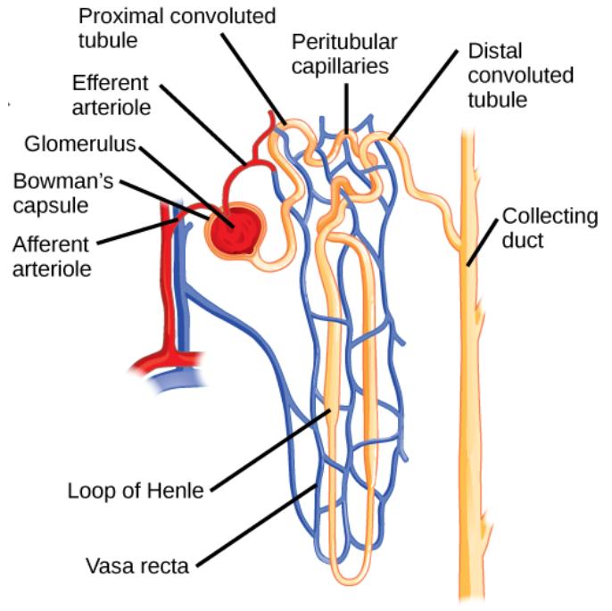 Explain the function of the vasa recta class 10 biology CBSE