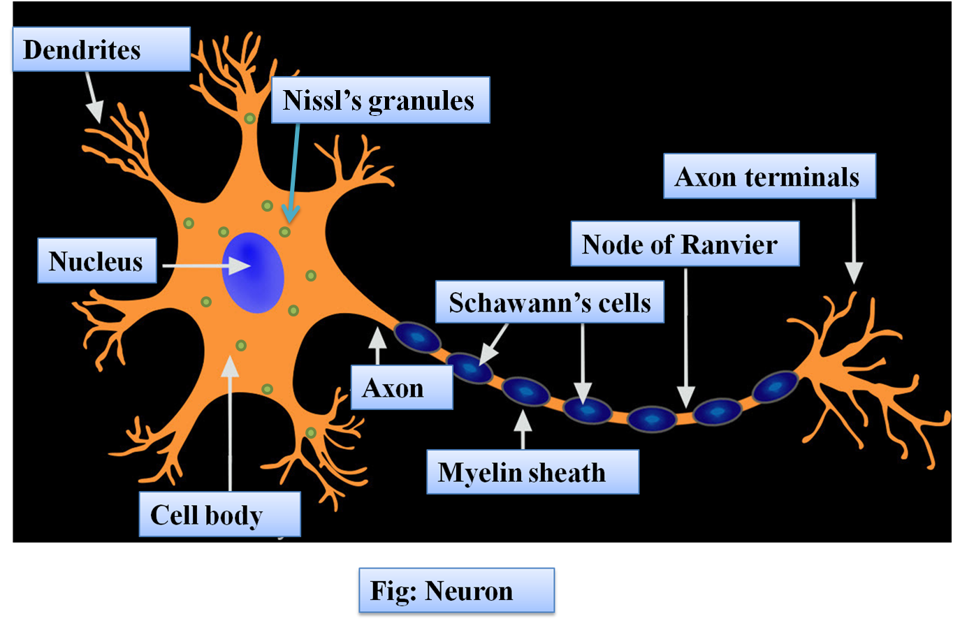 Describe the structure of a neuron with the help of class ...