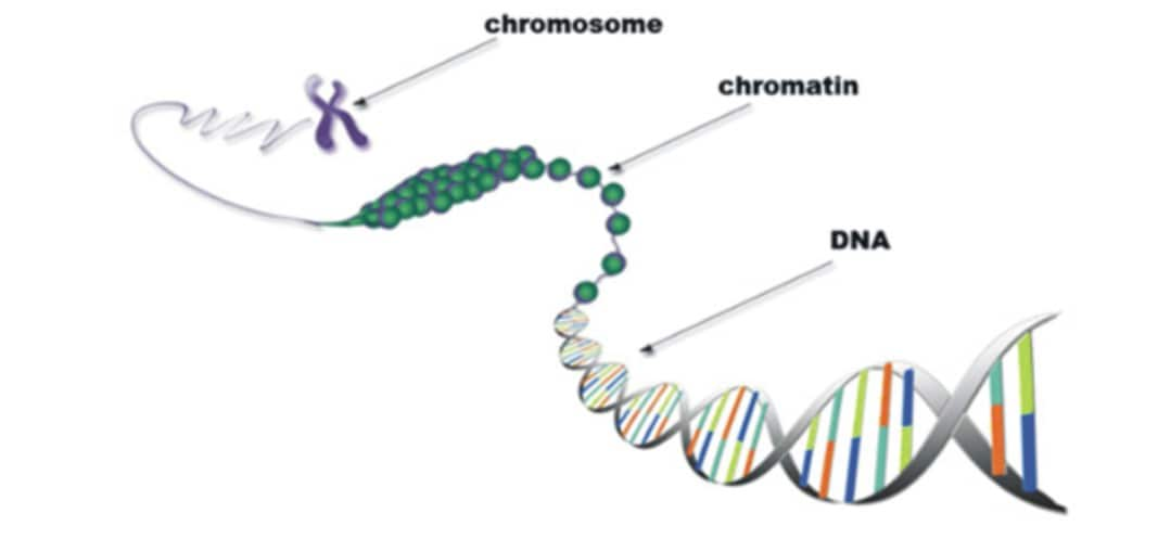 What is Chromatin? - Structure and Function of Chromatin