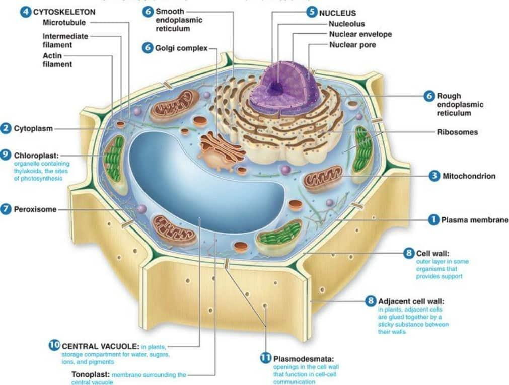 cell wall: it is the outer layer of a plant cell, which helps in providing  the form and strength to the complete plant  a cell wall is made of  cellulose