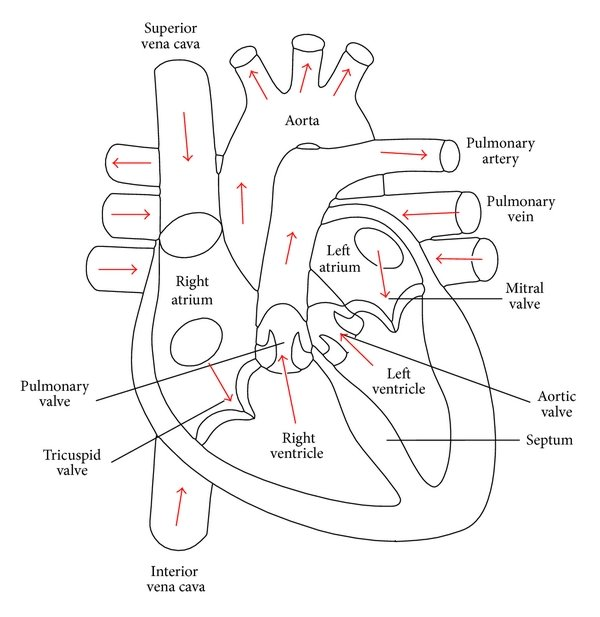 Human Heart - Anatomy and Functions | Location and Chambers